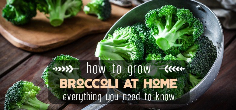 Ultimate Guide on How to Grow Broccoli at Home