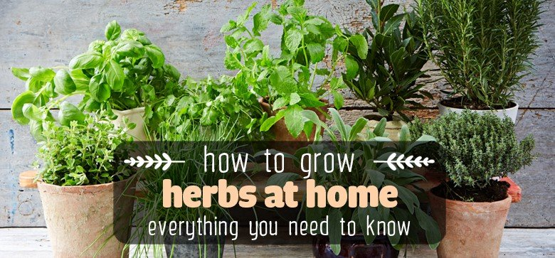 growing-herbs