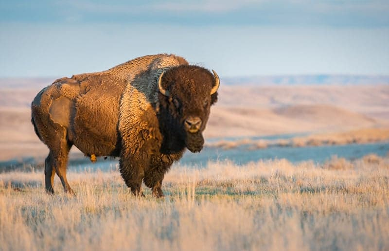 what-is-bison