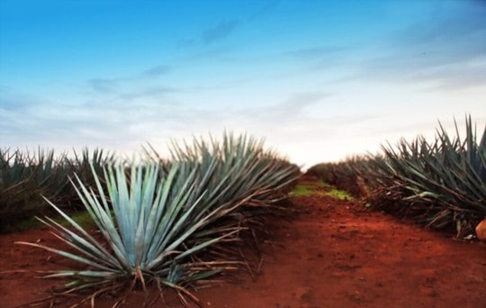 health and nutritional benefits of agave
