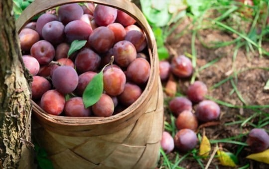 health and nutritional benefits of plums