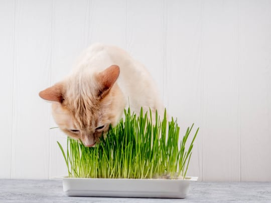how long does cat grass last