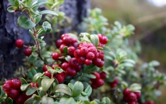 what are lingonberries
