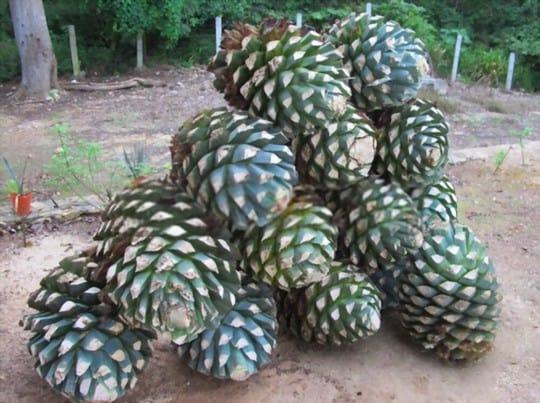 what does agave fruit taste like