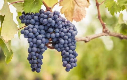 what is pinot noir