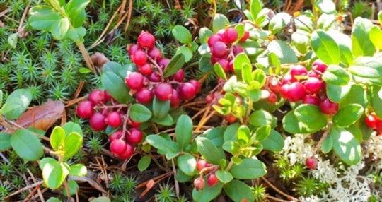 where do lingonberries grow