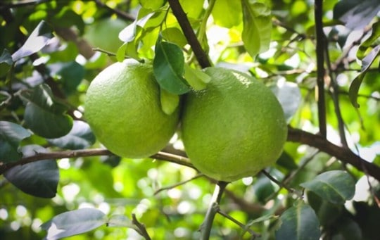 who should not eat pomelo