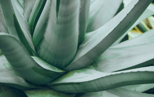 why is agave bad for you