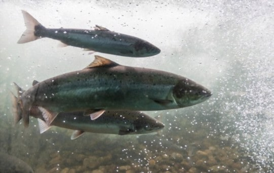 difference between atlantic and pacific salmon