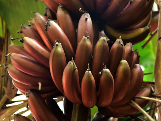 how can you tell if red banana is ripe