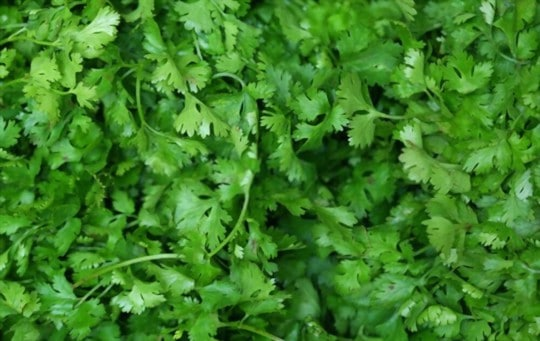 how to tell if cilantro is bad