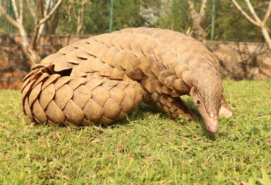 is pangolin good to eat