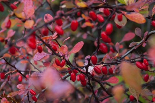 nutritional and health benefits of barberries