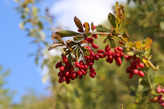 what are barberries