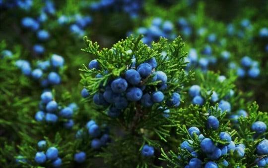 what is juniper berry