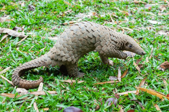 what is pangolin
