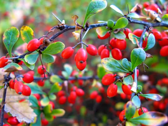 where to buy barberries