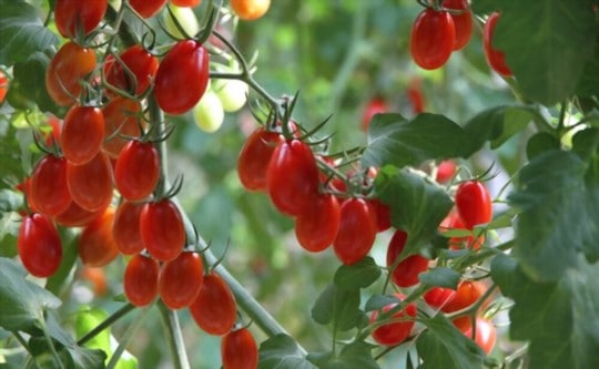 how to tell if frozen grape tomatoes are bad