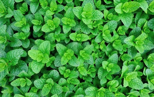 what the difference between mint and peppermint