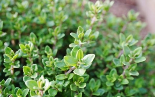 best substitutes for fresh thyme