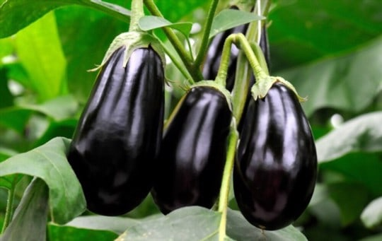 what is eggplant